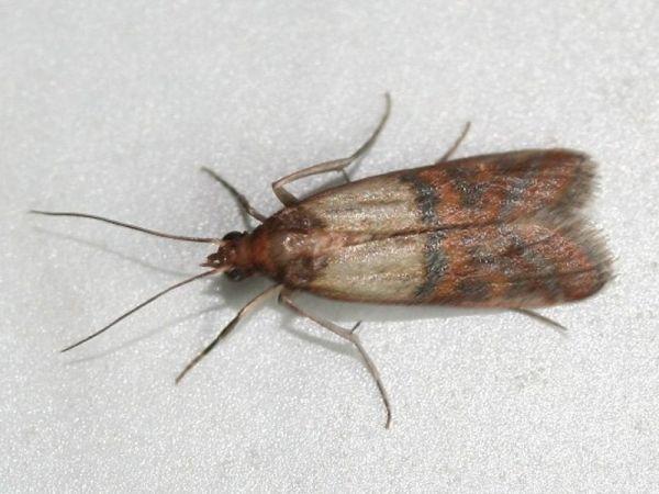 Mottenbefall Durch Lebensmittelmotten Motten Bekampfen