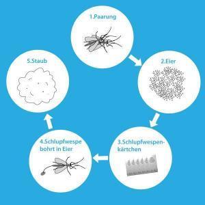 Infografik Mottenzyklus durch Schlupfwespen unterbrochen