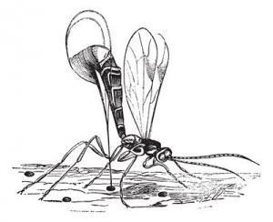 Schlupfwespe gegen Motten