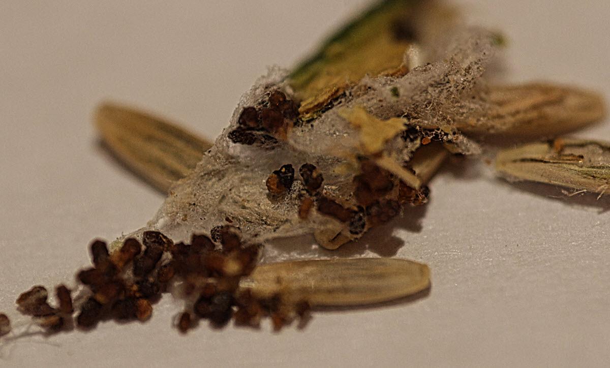 Mottengespinste in Vogelfutter